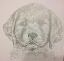 pencil drawing of a labrador puppy