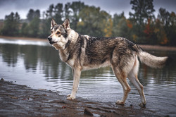 Grey Hunter Miraja