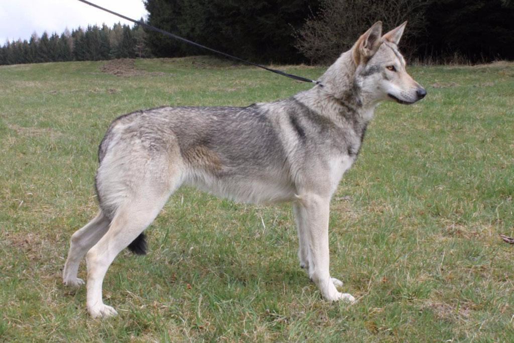 Ellite Pett's Wolf Miraja
