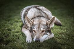Boycot Cody Pett´s Wolf