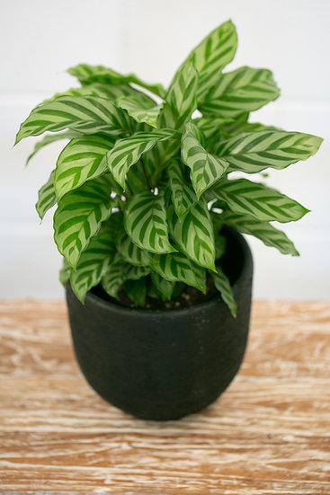 PLANT &  POT