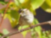 BirdWalkWhiteThroatedSparrow.jpg