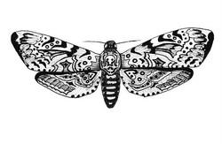 Death's Head Moth, 2016