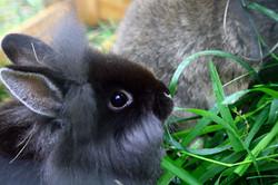 PIkku kani