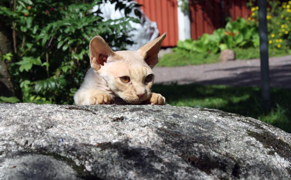 Kissa vaanii