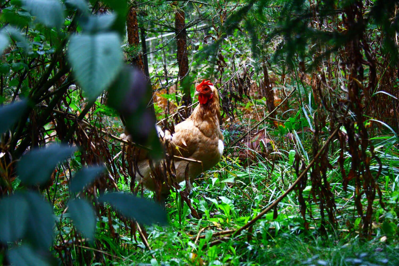 Kana puskassa