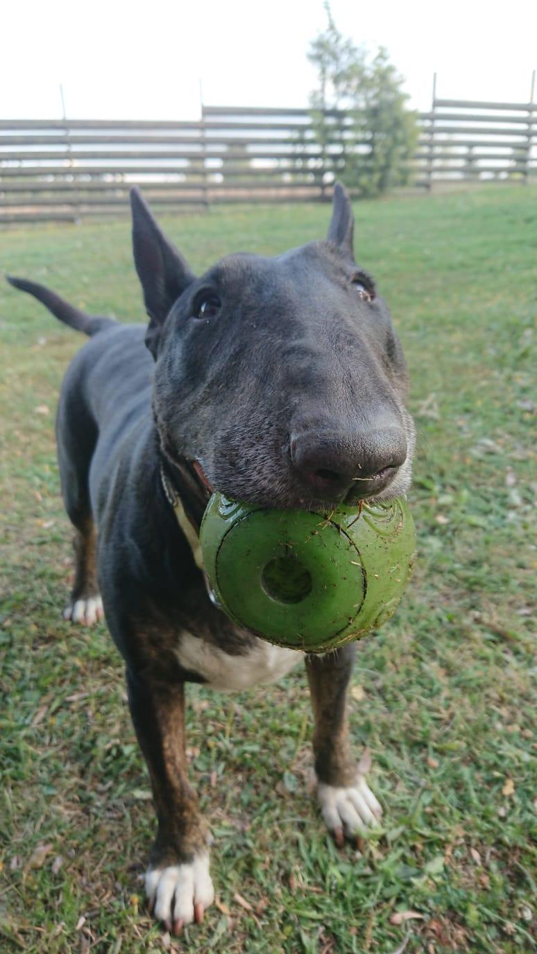 Koira ja pallo