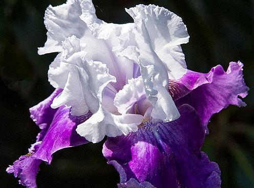 Iris in Bloom by Ken Arni