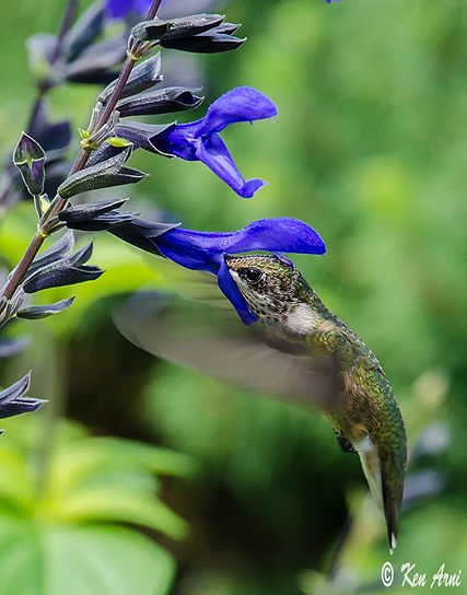 Hummingbird on Blue Salvia.JPG