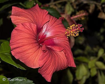 Hibiscus, Copyright Ken Arni