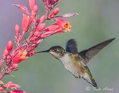 Hummingbird wth Red Yucca