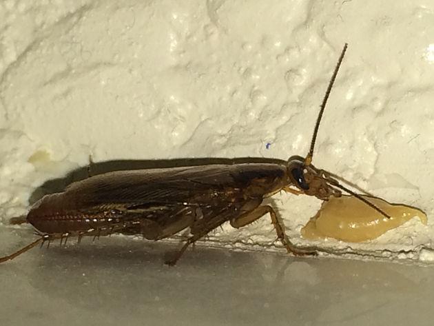 Pest Control Gilbert Arizona German Roach Removal
