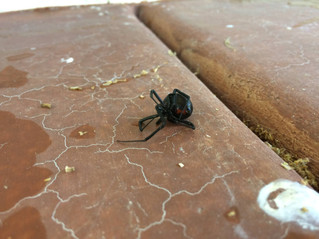 Black Widow - Did you know?  Spider Control Services - Gilbert, AZ  No Contract Pest Control