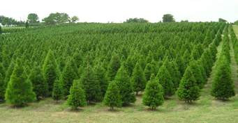National Real Estate News: Why Christmas Trees are Pricier This Year