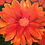 Thumbnail: Orange Gerbera