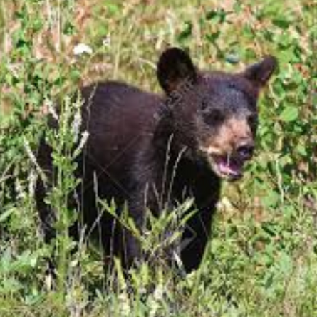 West Island Bear euthanized, not scared of humans