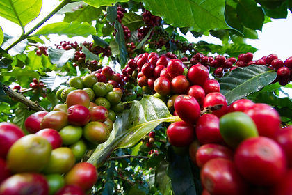 red coffee beans on a coffee tree.jpg