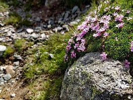 fleurs roses des montagnes