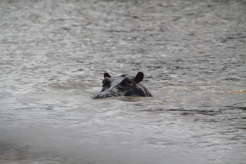 Hippo popping its head up