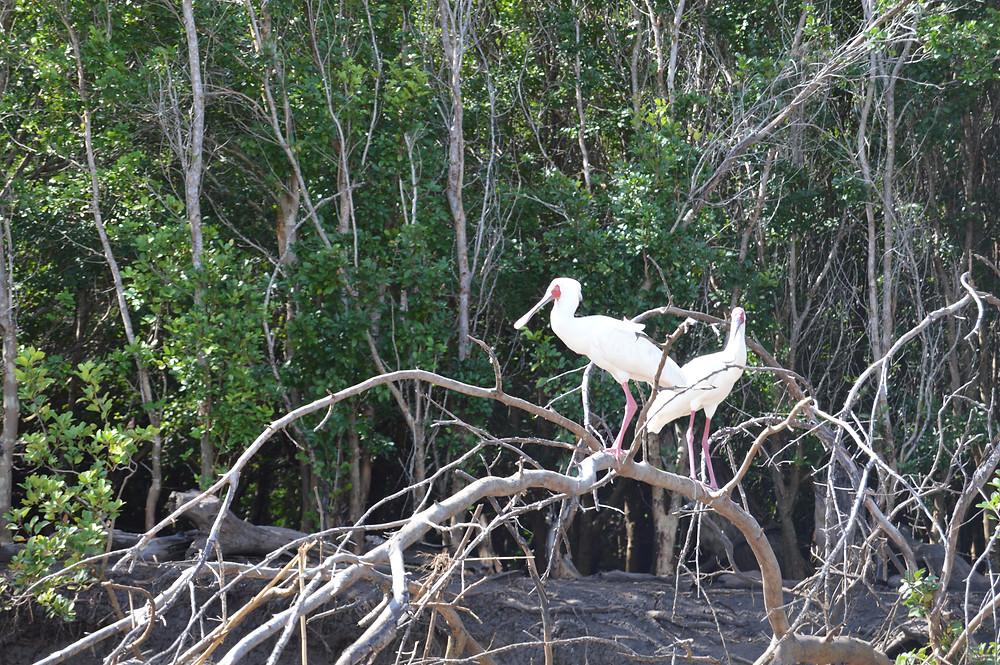 Spoonbill Crane