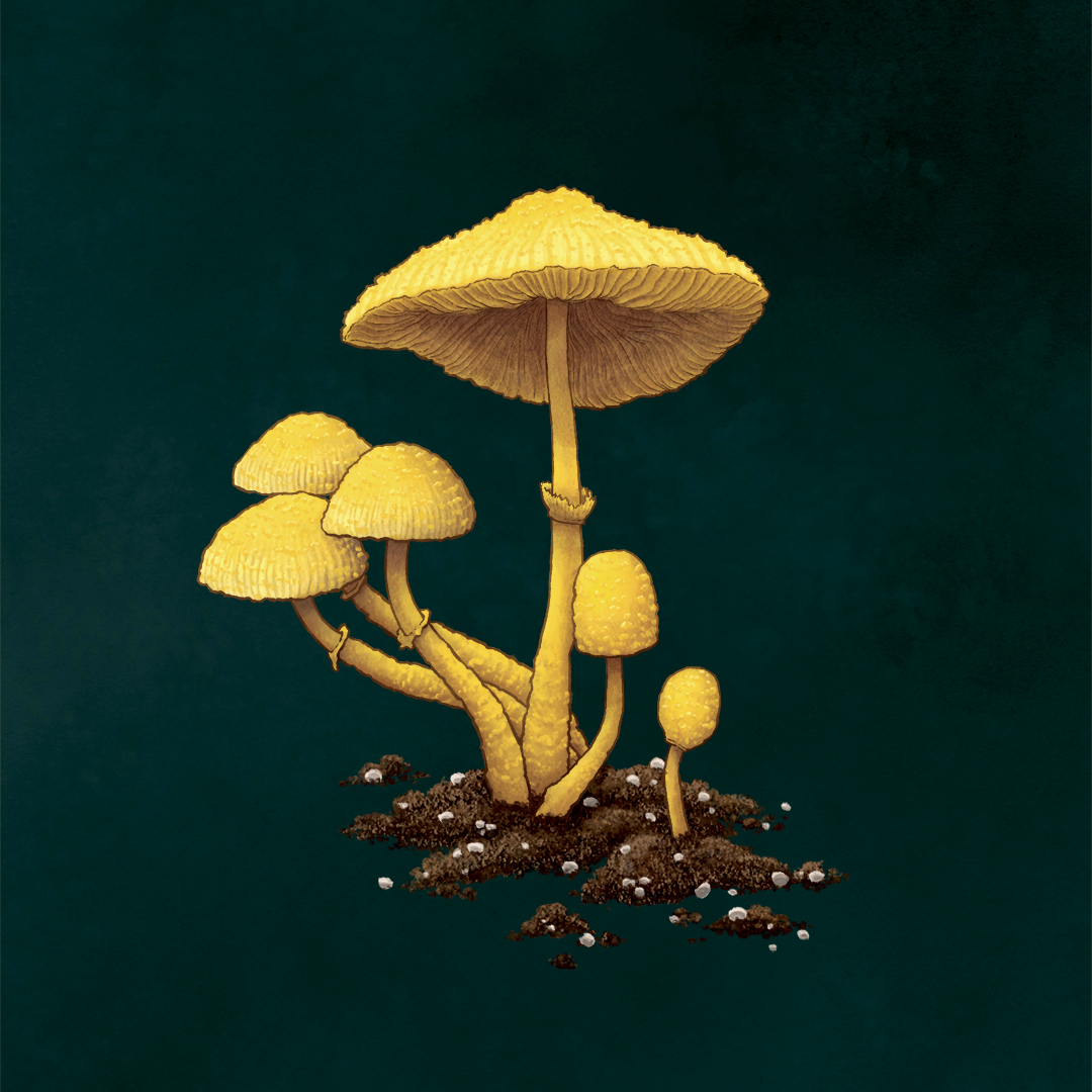 Flowerpot Parasol Mushroom