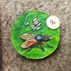 Leaf Miner Fly & Eggs close up