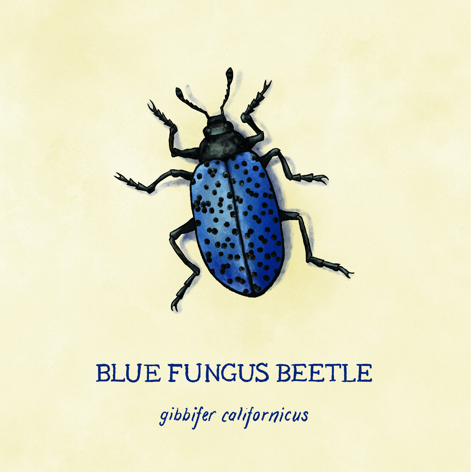 Blue Fungus Beetle close up