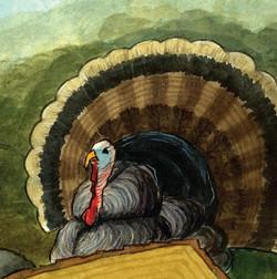 Angry Turkey close up