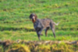 german-wire-haired-pointer-3226809_960_7