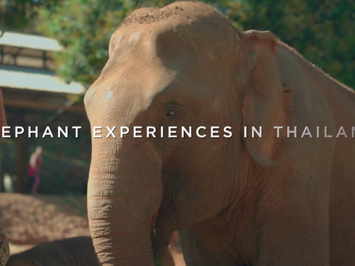 Elephant experiences in Thailand.