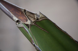 agave 1