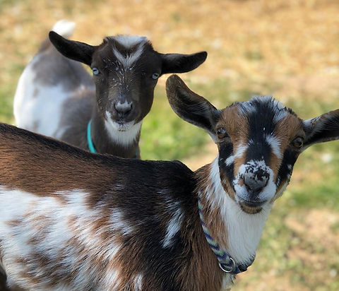 Smores and Doli two nigerian dwarf goats