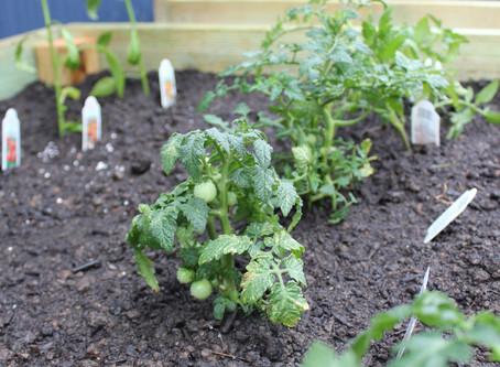 Raised gardens = Salads & Salsa