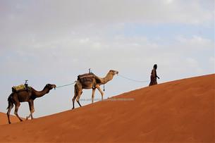 dromadaire dune Sahara