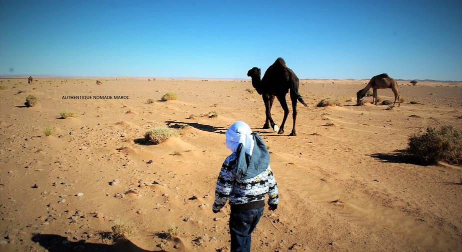 désert dromadaire Maroc
