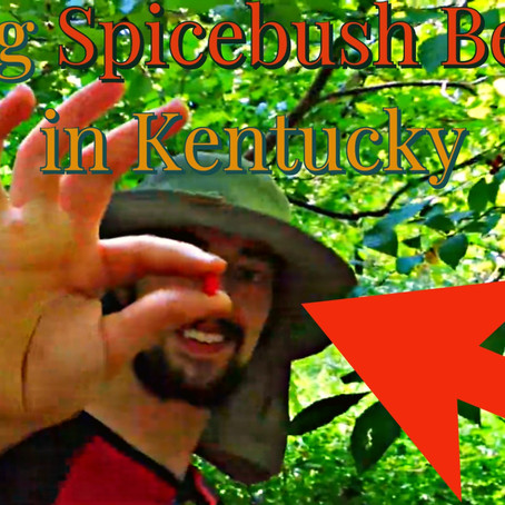 Tasting Spicebush berries - Special caterpillar & why bucks rub all over these: Kentucky Food Forest