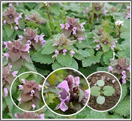 Backyard Biodiversity: Purple Dead Nettle - pollinator plant