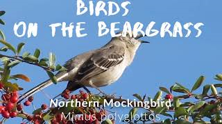 Birds on the Beargrass: Northern Mockingbird [Isolation Vacation]