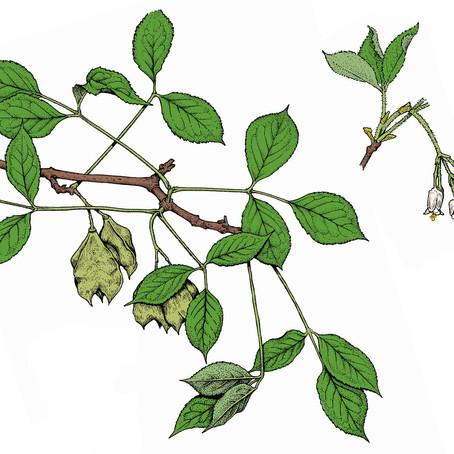 Backyard Biodiversity: American Bladdernut - pollinator plant