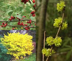 Backyard Biodiversity: Spicebush - pollinator plant