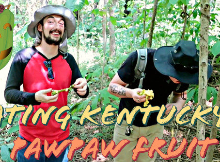 Eating the Paw Paw fruit - delicious native KY delicacy: Kentucky Food Forest