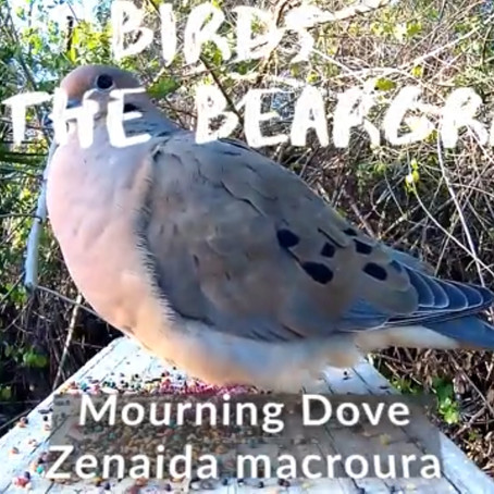 Birds on the Beargrass: Mourning Dove [Isolation Vacation]