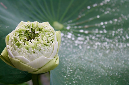lotus-3781429_1920.jpg