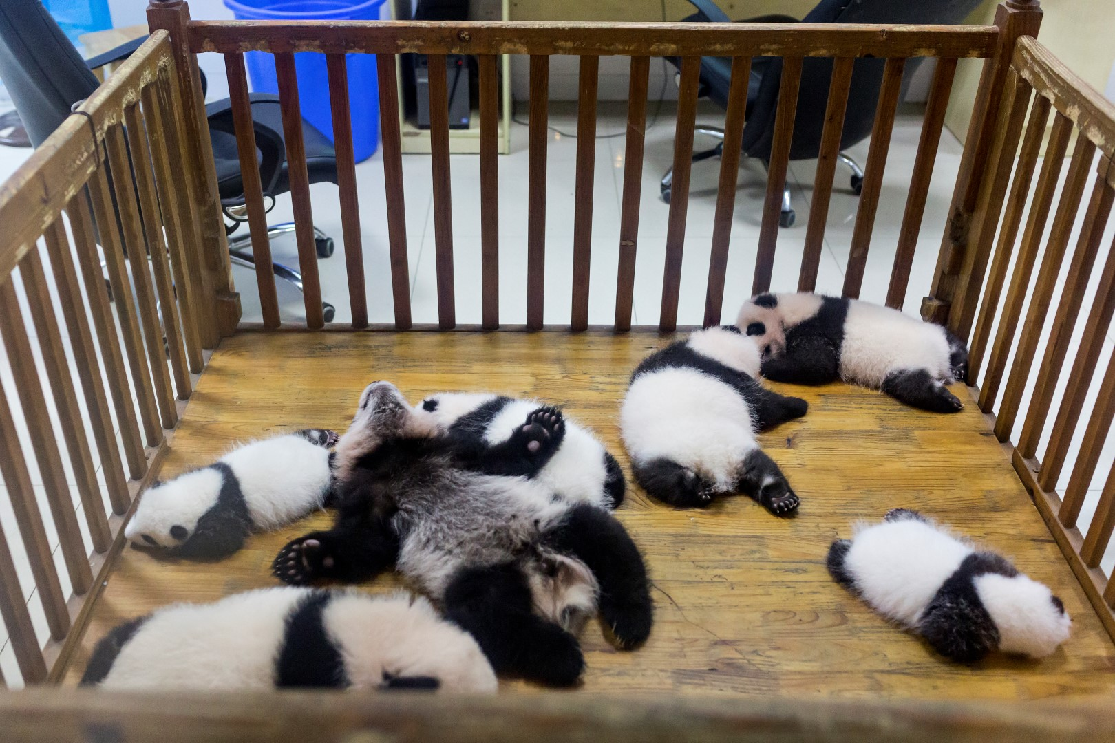 2-3 months old Panda cubs