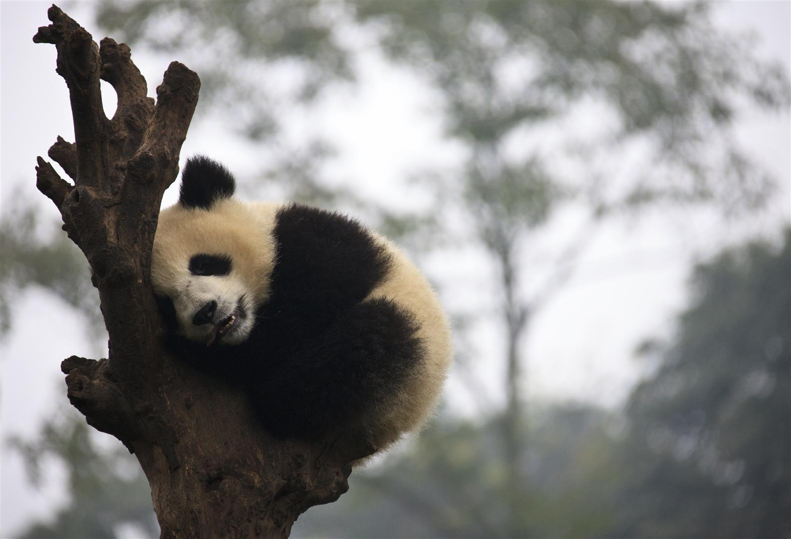One year old Panda sleeping