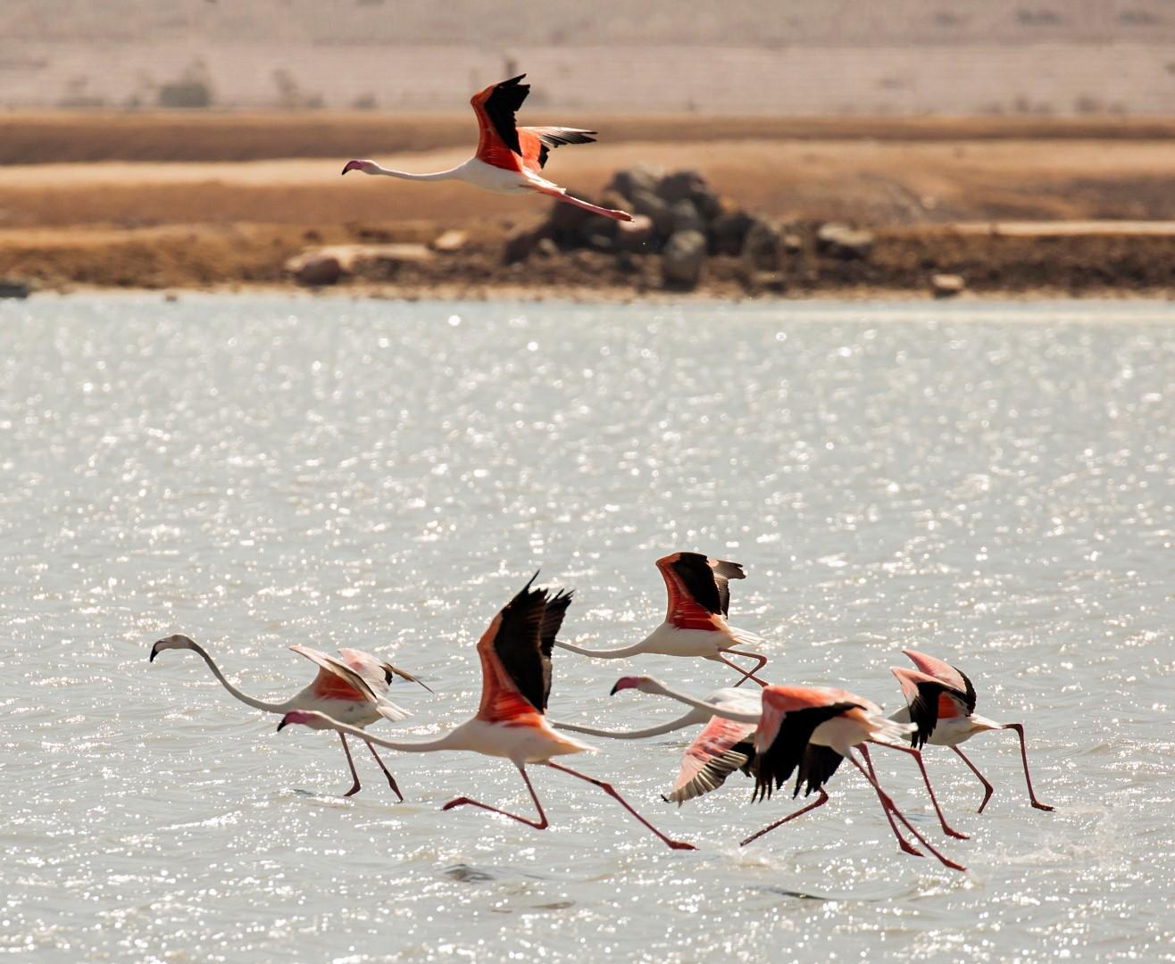 Flamingo, Israel.