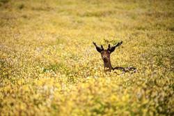 Deer, Australia