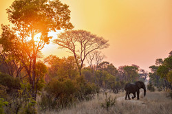 African Elephant in the sunset