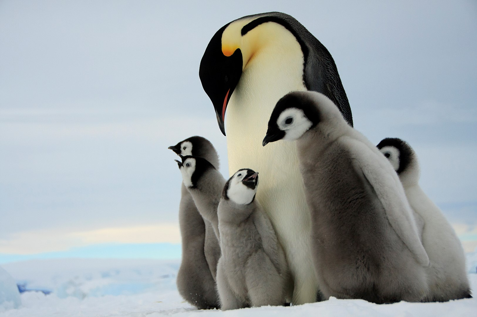 Emperor Penguin and chicks