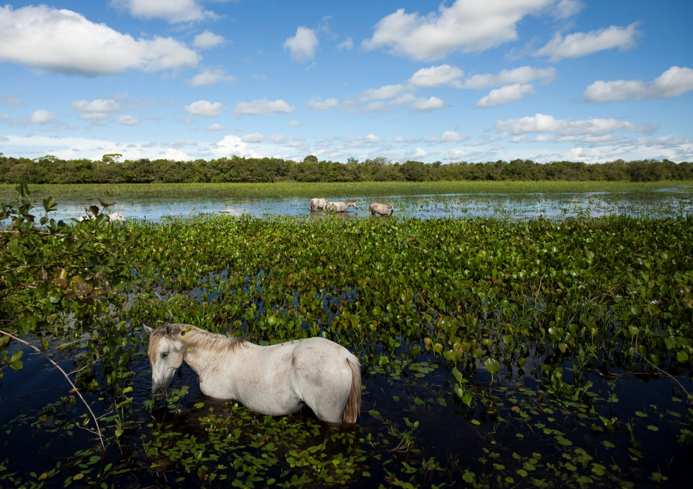 Horses in the Pantanal, Brazil